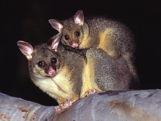 girraween national park animals mammals possums