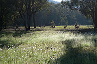 Grazing roos
