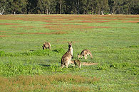 Roos in an old paddock