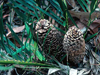 Cycad leaves and cones